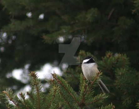 Sitting chickadee by EmaleeAnne