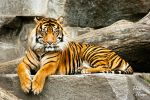 Relaxed Tiger by Romanara