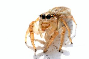 Little Jumping Spider by DuffyGraham