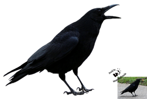 Cut-out stock PNG 113 - crying crow by Momotte2stocks