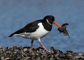 Oystercatcher by Albi748