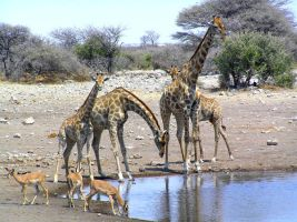 Giraffes and Springboks Namibi by Jenvanw