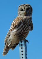 Portrait of a Barred Owl by masscreation