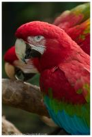 Red and Green Macaw 001 by ShineOverShadow
