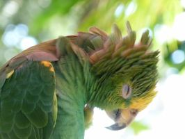 Yellow-crowned Amazon by Melody00000