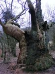 The tree by Lepidodendron