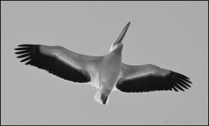 Flying Pelican! by Somebody-Somewhere