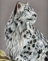 WIP- Snow leopard by Alayna