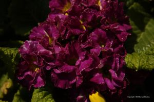 Purple Primroses by DorianStretton