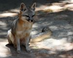 Grey Fox Sitting Pretty by Jack-13