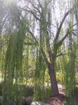 Weeping Willow by zerah561