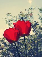 Red Tulips by lacrymozart