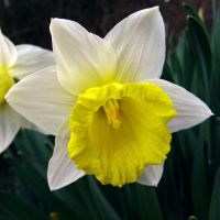 Narcissus - mellow by miss-gardener
