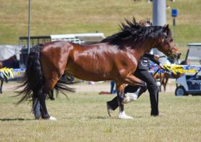 STOCK - Gold Coast show 299 by fillyrox