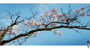 Blossom on the Bough by PsychoPixel