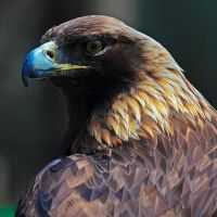 Golden Eagle II by corpseweles
