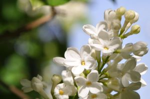 lucky five lilac . . . by Corinas0