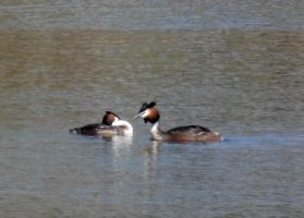 Great Crested Grebe by Takiako-Nakashi