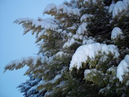 Snow on fir tree. by Bumble2011