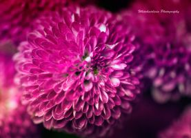Dahlia by WhiteHairLivia