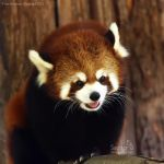 Red Panda by Sagittor