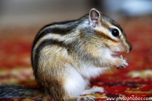 chipmunk on the carpet I by Philophobos