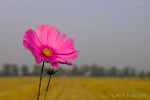Pink! by TLO-Photography