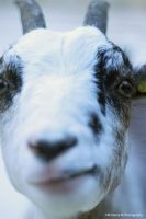 Goat III by Kimberly-M