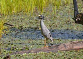 Yellow-crowned Night-Heron 6-13-12 by Tailgun2009