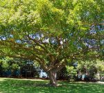 Dappled Tree by rosechee