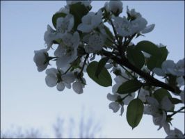and a Pear Tree by colorDARK