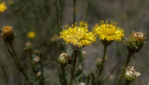 Button Wrinklewort Endangered Species by MatureContntFilterOn