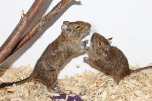 Degu Stock 6 of 10 ~ Males by Lovely-DreamCatcher