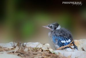 Fledgling by phospherant