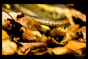 Thamnophis sirtalis by cybercoyote
