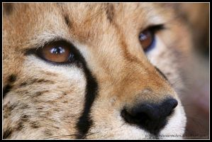 Cheetah face by AF--Photography