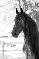 Friesian head shot black and white by OnlyYouCan