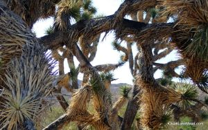 Joshua Tree Branches by ClymberPaddler