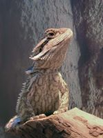 bearded dragon by damir-g-martin