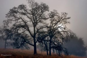 Oak trees in fog wallpaper by kayaksailor