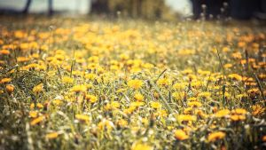 .: Walking through Dandelions :. by Frank-Beer