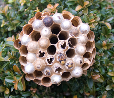 Wasp Nest by KubusRubus