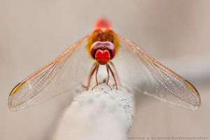 Red Dragonfly II by pharaohking