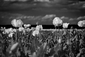 White Poppy Field by rejmann