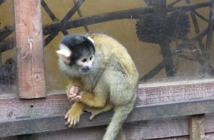 Squirrel Monkey by Neon-Tiger-7