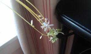 Spider plant flowers by foxhead128