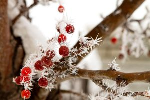 Spiky Frost on the Berries by SonjaPhotography