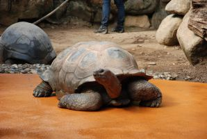 giant tortoise Stock by LimeStock