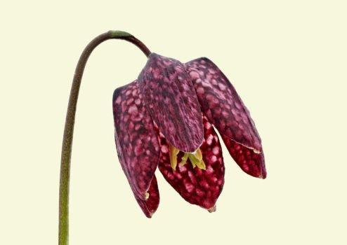 Fritillaria meleagris 04 by Paul-Gulliver