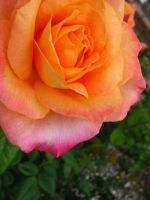 Multicolored Orange Rose by my-dog-corky